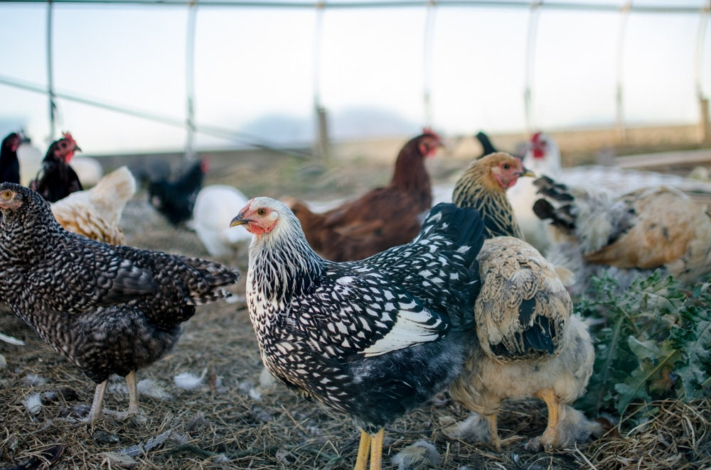 Curious if Your Hen is Laying? Here are 4 Ways to Tell