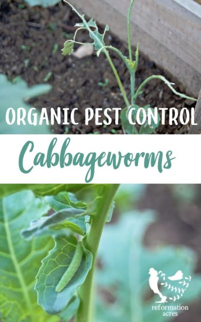 Natural, organic control of Cabbageworms is not easy or always successful. Thankfully there are things you can do to minimize damage and still get a crop!