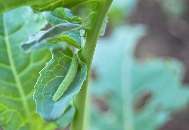 How to Naturally Control Cabbageworms