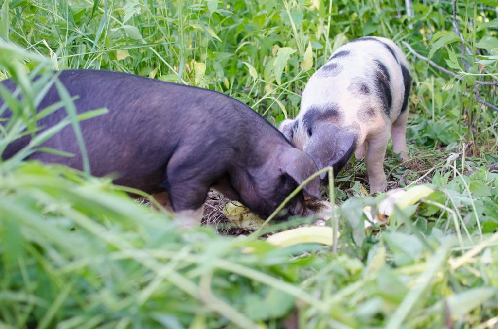 ~Moving The Pigs To The Pasture -The Wrong Way (VIDEO)~
