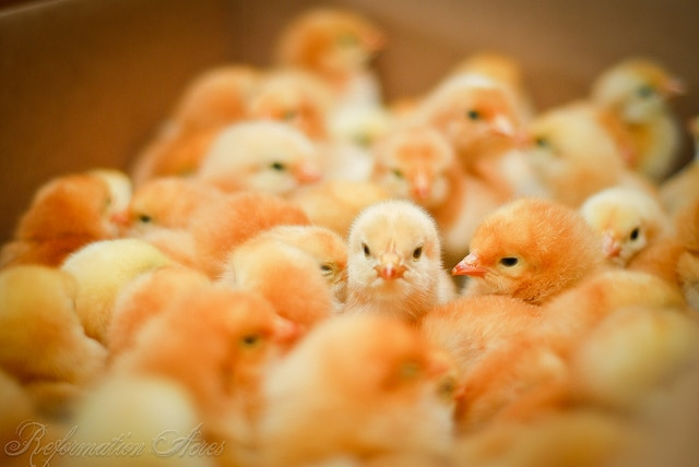 Freedom Ranger Day Old Baby Chicks