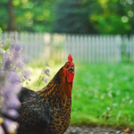 Chicken Breed Profile: Black Star Chickens
