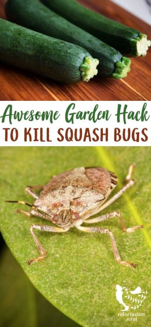 Want an easy, cheap way how to kill squash bugs, their nymphs, & eggs? Organically control the leaf-footed beetle pests in your garden with this method.