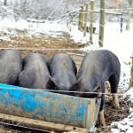 Your Questions: Pigs in the Pasture
