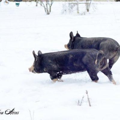 ~Of Pigs & Broken Fences~