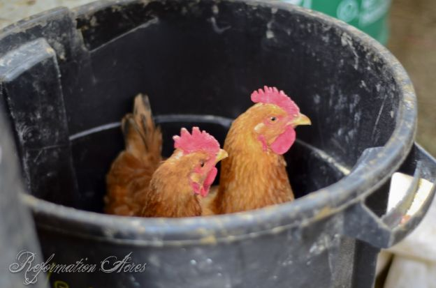 One Year Old Freedom Ranger Hens