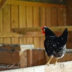 The Ancona Chicken: An In-Depth Breed Profile