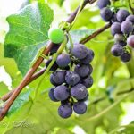 Which Type of Mulch is Best for Berries and Grapes?