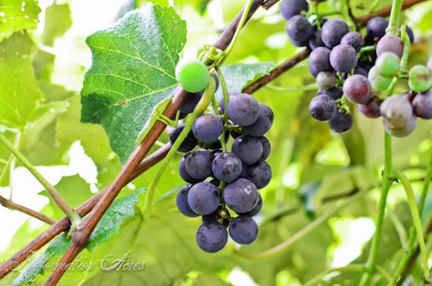 What is the Best Mulch for Berries and Grapes?