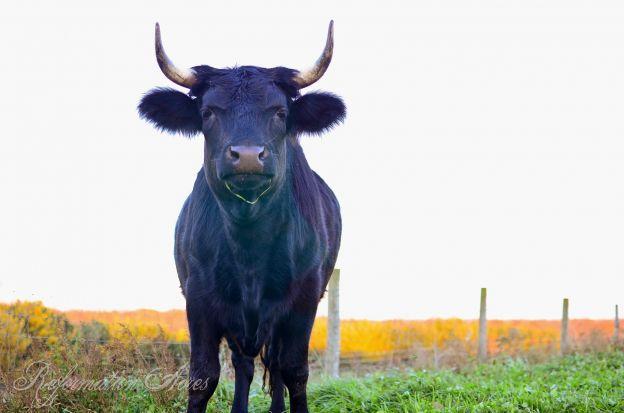 Butchering Beef on the Homestead
