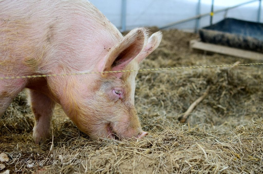 How to Estimate the Weight of a Live Hog
