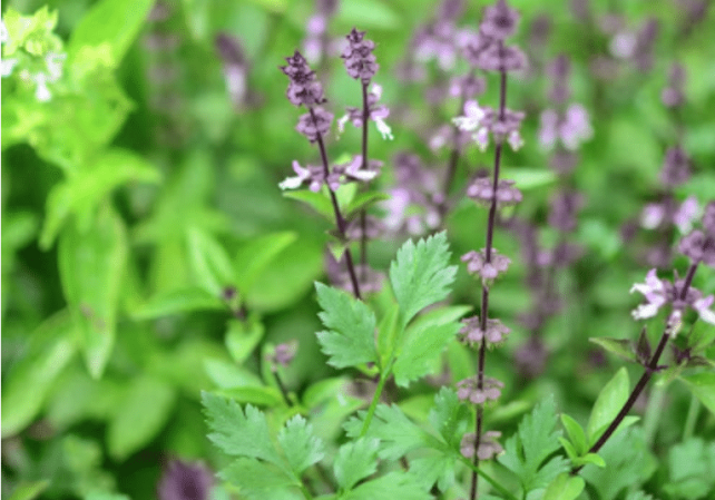 The best spot for a kitchen herb garden is near the kitchen. What if it's in the shade? Here are 8 culinary, shade-tolerant herbs for the shade garden!