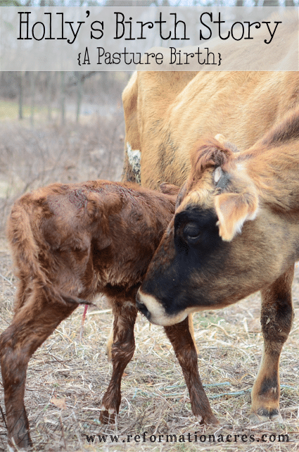 Holly is our Jersey cow. This is her pasture birth story. (As told by a spectator since Holly can't tell her own story.) | www.reformationacres.com