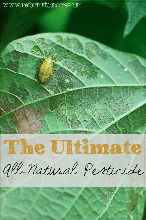 The ULTIMATE All-Natural Farm & Garden Pesticide- You won't want to overlook this untapped resource on your homestead!!
