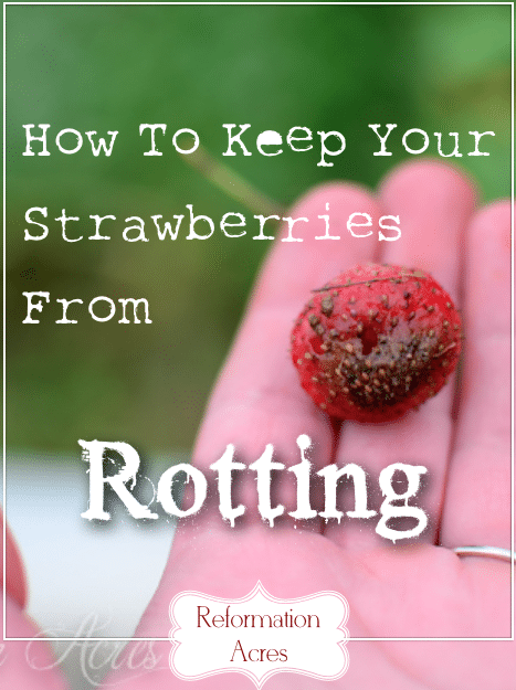 There is one easy thing you can do to keep your strawberries from rotting.