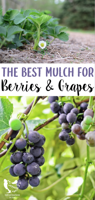 Different plants have unique soil needs. The type of mulch used will help them thrive. Learn the best mulch for strawberries, raspberries, blackberries, and grapes.
