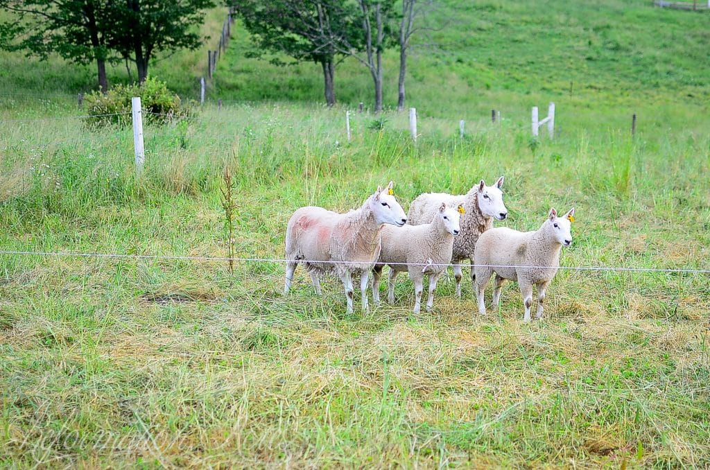 Learn how to improve your homestead pasture management with sheep. They help control weeds, add fertility, and more!