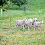 ~Homestead Pasture Management with Sheep~