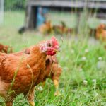 Chore Time: Moving the Pastured Ranger Broilers (VIDEO)