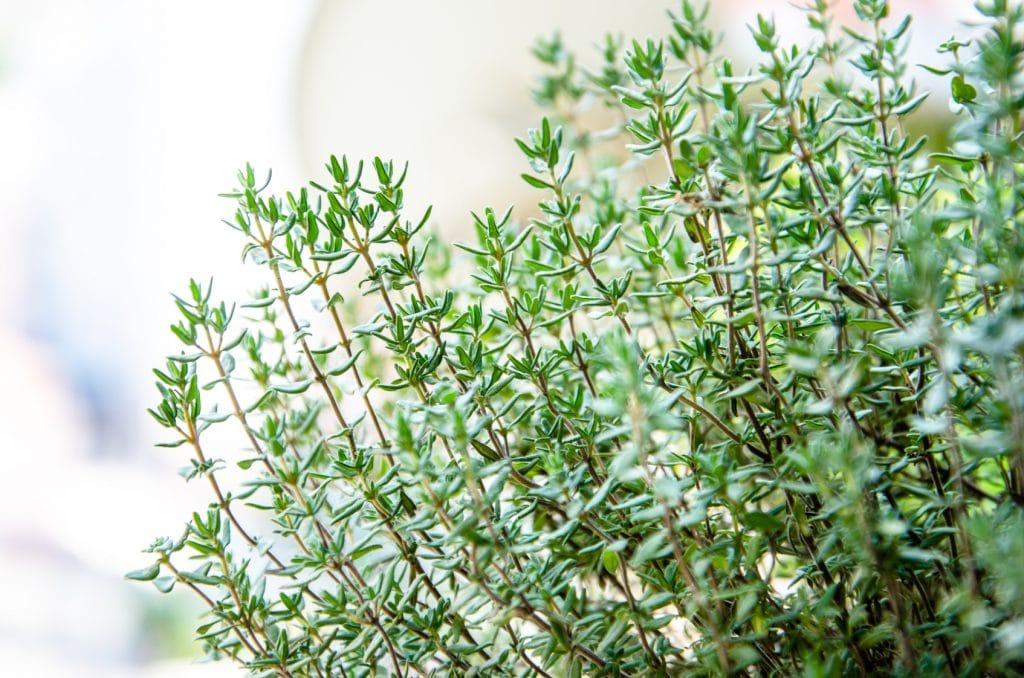 An Herbal Garden Update