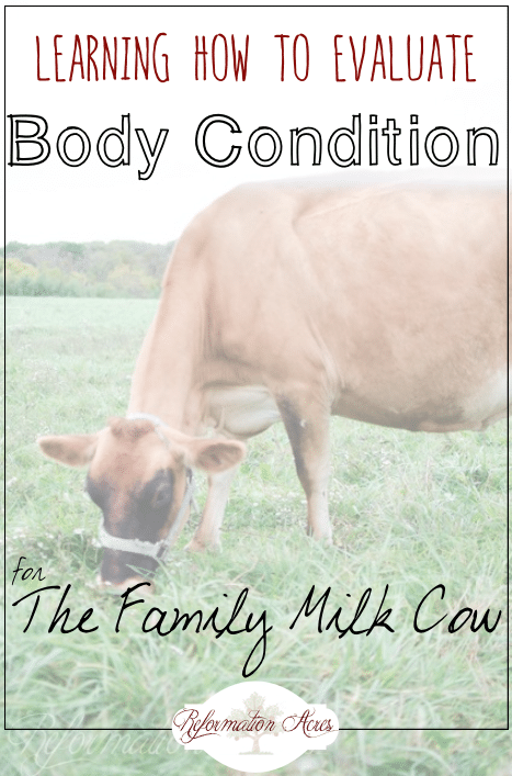 Is your dairy cow too fat or too thin? Learn how (and why) you should be evaluating the body condition for your family milk cow!