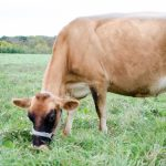 Why We Feed Our Family Milk Cow Grain