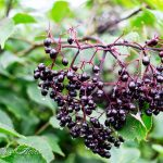 Homemade Medicine Made Simple: Immune-Boosting Elderberry Syrup {For the Pantry Shelf}