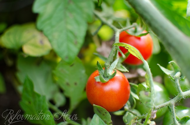 garden tomatoes-7