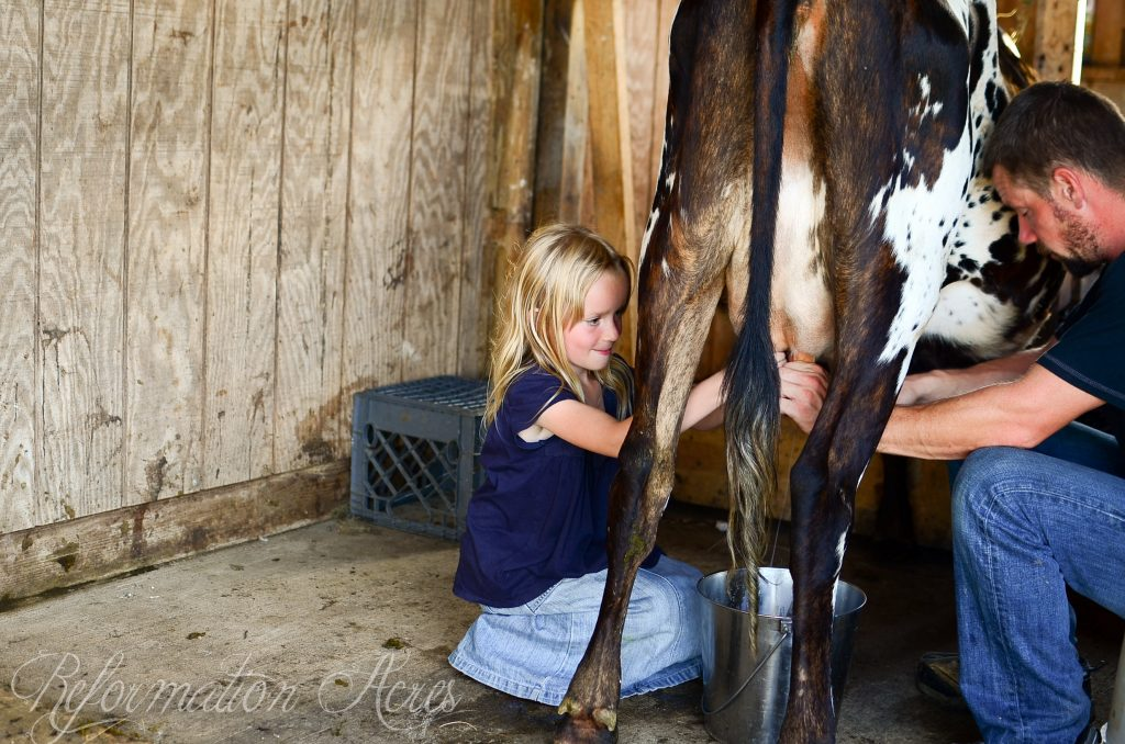 One of the most common deterrents to owning a family dairy cow (or goat) on the homestead is the notion that you'll be tied down twice a day milking, but is that really true? Here's how to milk a cow AND still have a life!