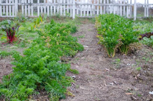 garden celery