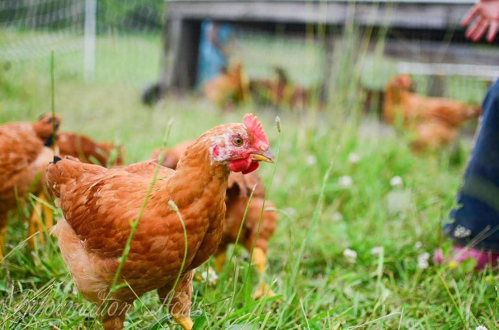 How much is chicken feed? How much does chicken meat cost when you raise your own? Find out how much it will cost to raise meat chickens (broilers).