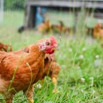 How Much Does It Cost To Raise Meat Chickens?
