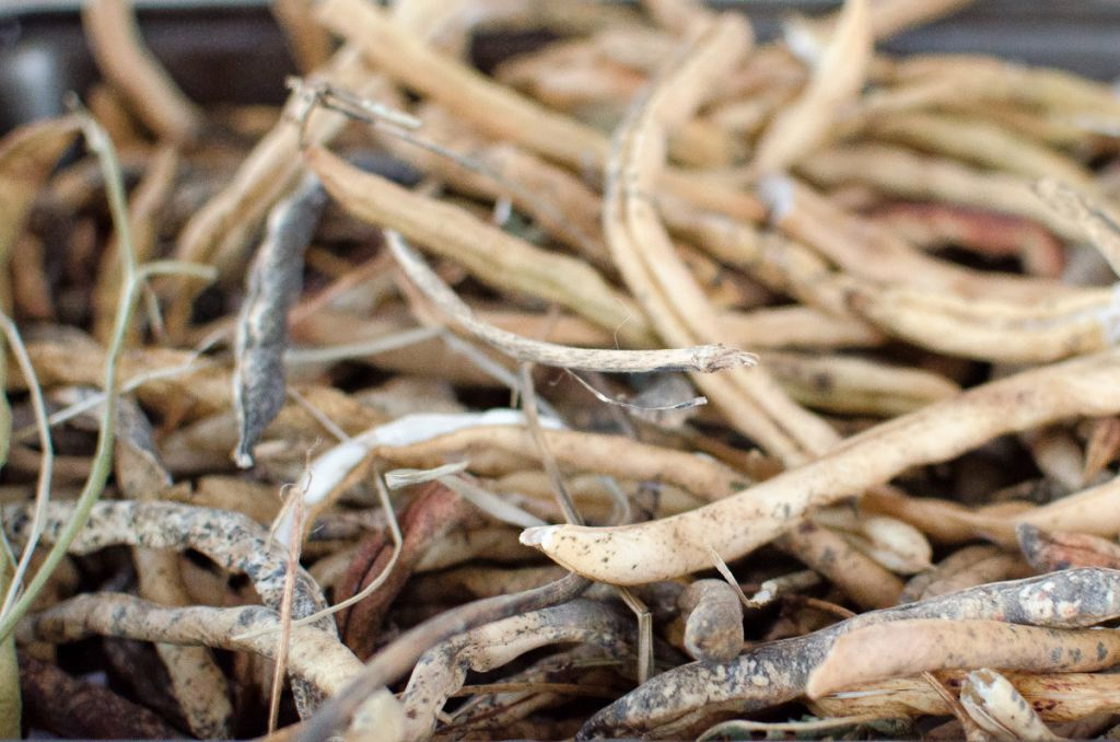 How to Save Heirloom Bean Seeds