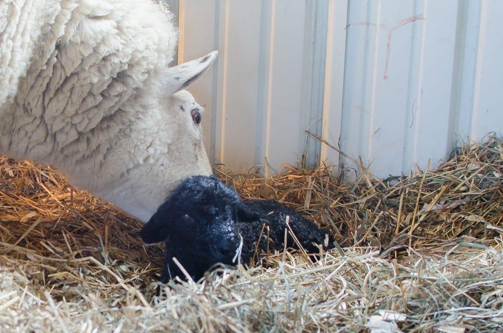 Lambing Season {2015} - signs of labor in Cheviot sheep