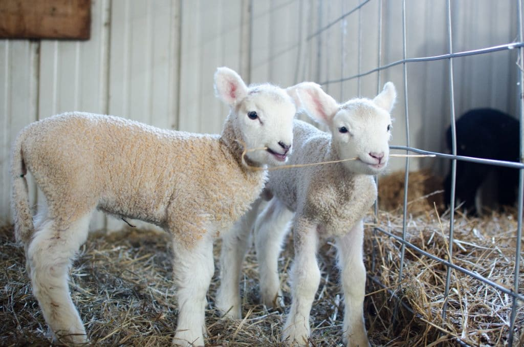 Lambing Season {2015}
