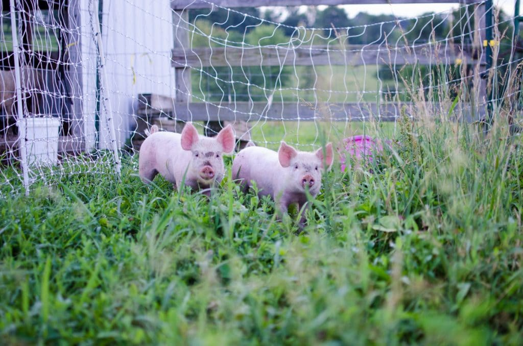 For the Love of Bacon: Choosing a Pig Breed for Meat-type or Lard Type; pig breeds