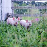 Choosing the Best Pig Breed (Do you want Ham or Bacon?)
