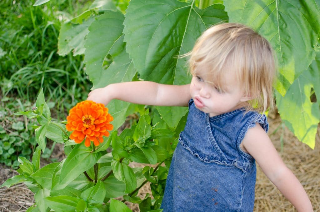 "Phoebe ""Smelling"" a Zinnia"