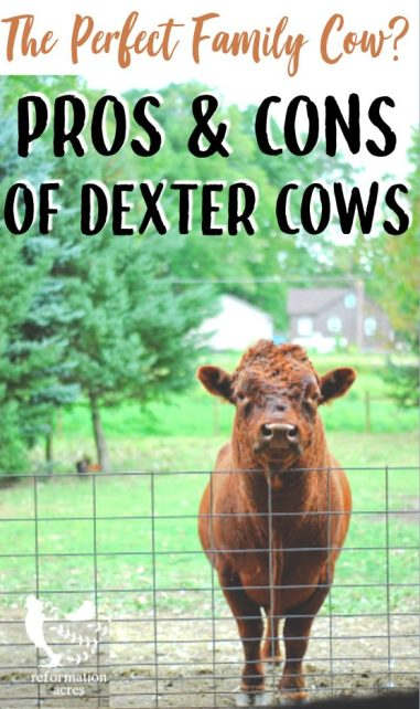 """DEXTER CATTLE: Are Dexter Cows the """"Perfect Family Cow.?"""" Get the truth and know the good, the bad, and the ugly behind raising Dexter cattle on a small farm or homestead."""