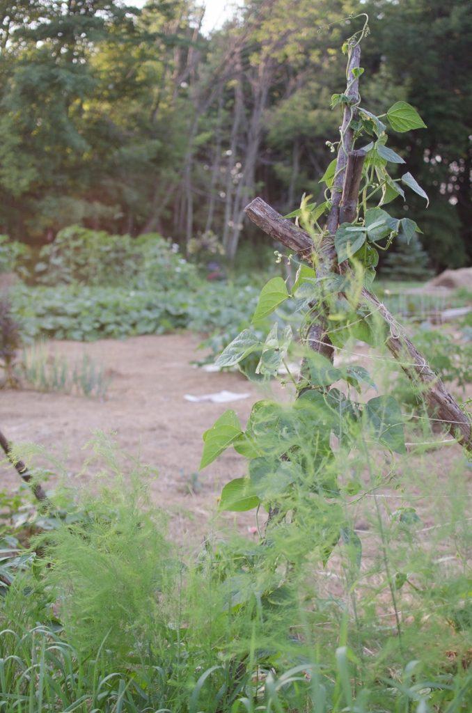 Green Pole Beans
