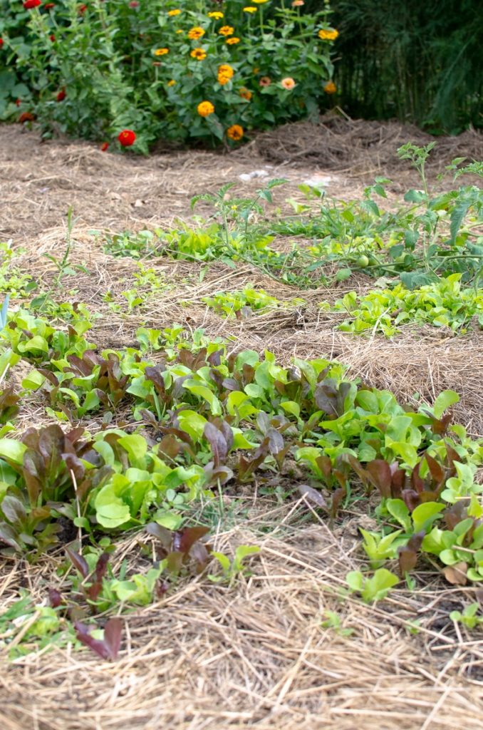 Several great reasons why you should let your lettuce go to seed .