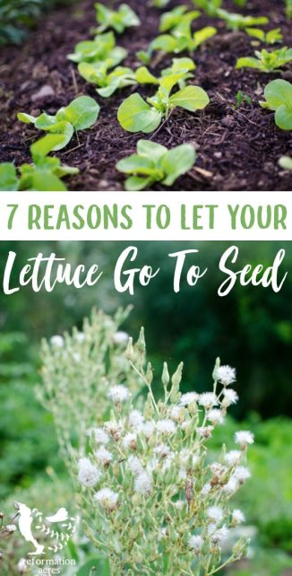 Lettuce got bitter? If you don't need the garden space for another crop, here are 7 great reasons to let your heirloom lettuce plants go to seed.