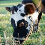 Keeping a Family Cow 101 (Everything You Want to Know)