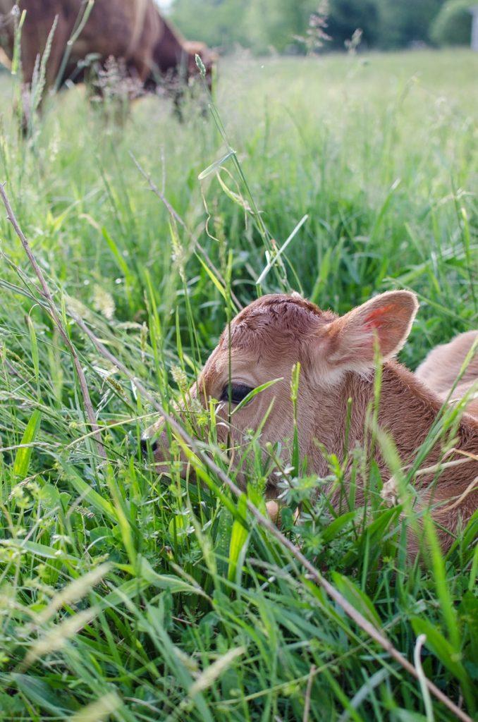 daisy calf_-3