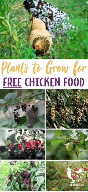 Grow these 12 perennials as edible landscaping that will create free chicken food, shade, and shelter from overhead predators for your flock.