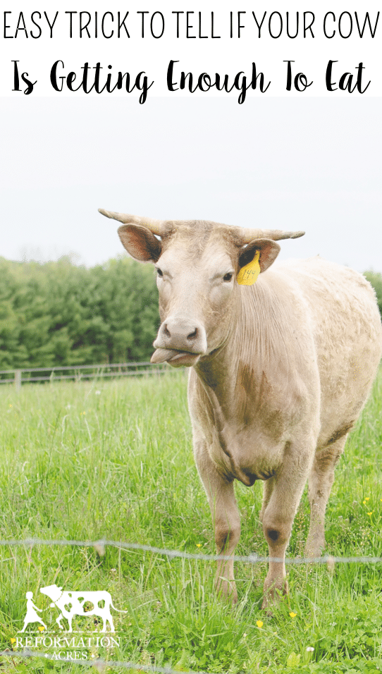 Use this one easy trick to tell if your cow is getting enough to eat (With before & after photos)