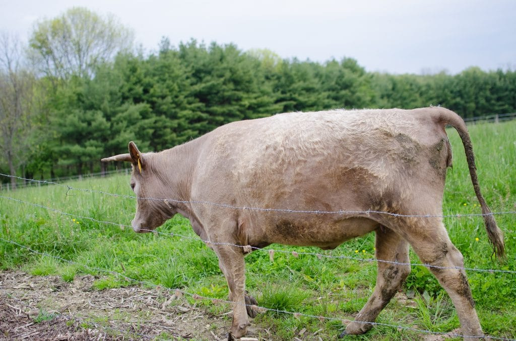 Easy Trick to Tell if Your Cow is Getting Enough To Eat
