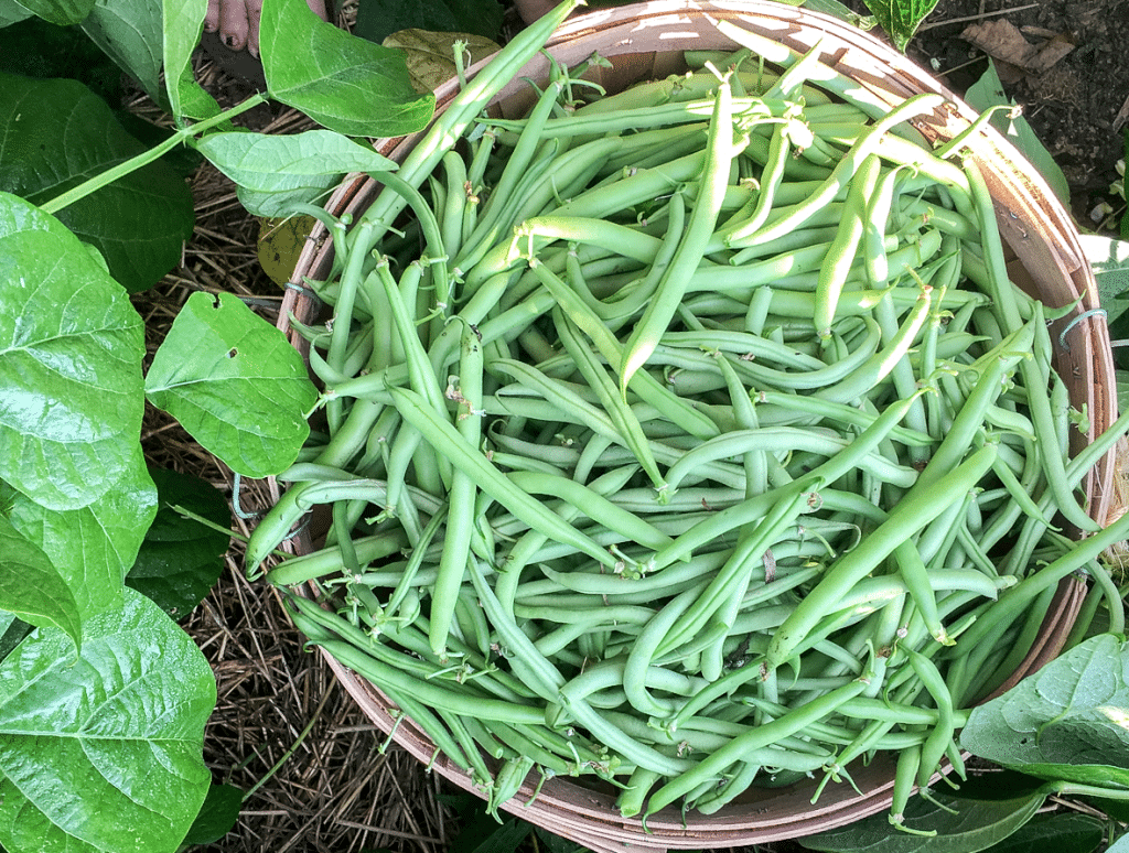 How to Make & Can Cayenne-Spiced Dilly Beans