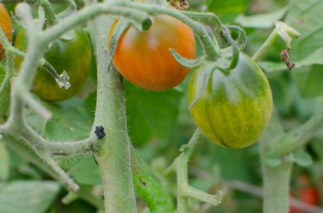 How to Spot and Kill Tomato Hornworms (Organically)