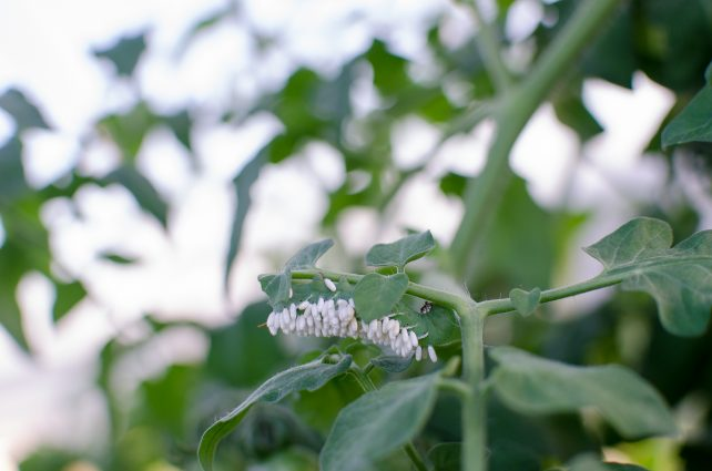 tomato-hornworm-How to Spot and Kill Tomato Hornworms (Organically)2-of-2
